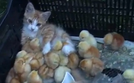 All In the Family: Chicks and a Ginger Cat (Video)