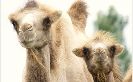 Genetically Modified Camel Milk Could Help Produce Pharmaceuticals