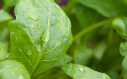 How to Make Solar Energy Better: Use Spinach