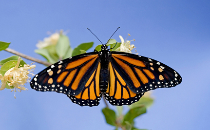 Lifesaving Project For Endangered Monarch Butterflies (Video)