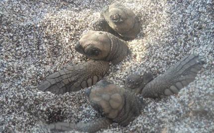 Make Money By Saving Baby Sea Turtles