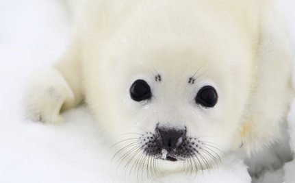 Harp Seal Pups Slated for Death at Aquarium