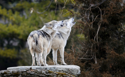 A Buffer Zone Could Go A Long Way For Wolves in Denali