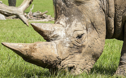 100 Rhinos Slaughtered In Less Than Two Months
