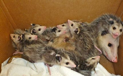 11 Baby Opossums Saved From Walls of House