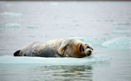 Arctic Seals Still Left Unprotected