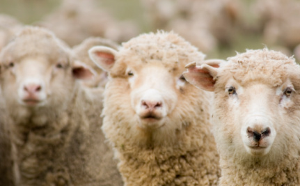 Hellish Journeys for Australian Sheep