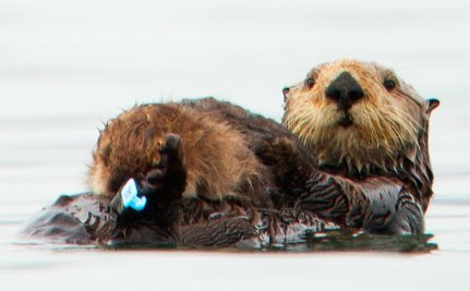 First Otter to Survive Oil Spill Becomes a Mom