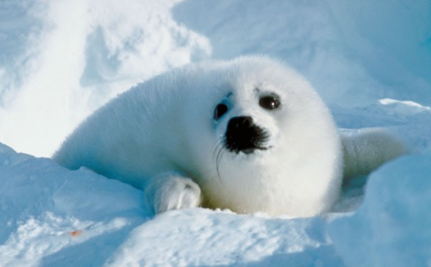 Aquarium Holding Seal Pups for Ransom: They're Okay, As Long As You Pay