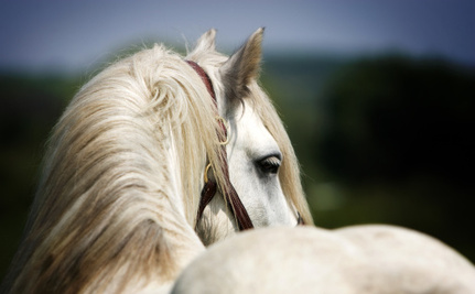 Lawmakers Seek to Stop Sadistic Abuse of Gaited Horses