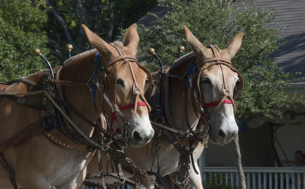 Museum Kills Two Mules For 'Realistic' Display