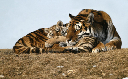 Tell Congress: Big Cats Are Not Pets