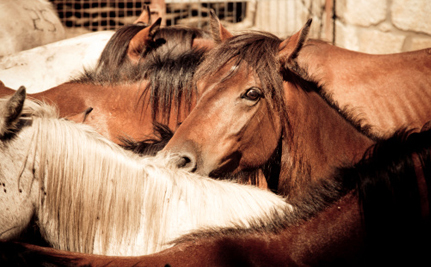 23 Wild Horses Rescued After Nevada Sent Them to Slaughter
