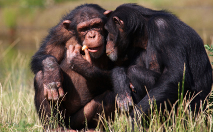 Feds 'Retire' 110 Chimps…By Sending 100 of Them To Another Research Center