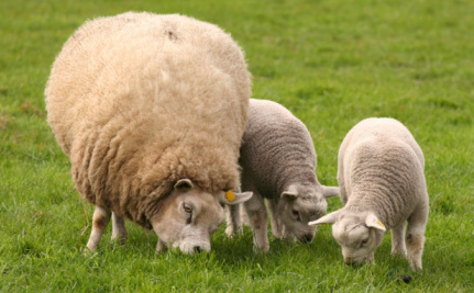 Wool Festival in NYC Will Celebrate Cruelty to Animals