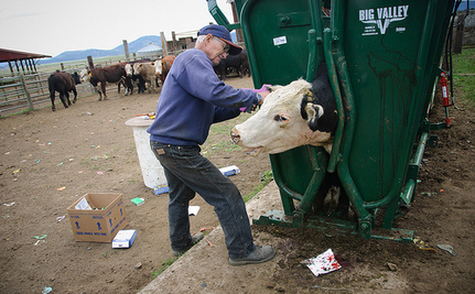 Cruelly Removing Cows' Horns is Standard Practice on Most Dairy Farms