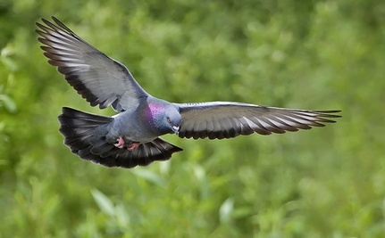Pennsylvania Allows Live Pigeon Shoots