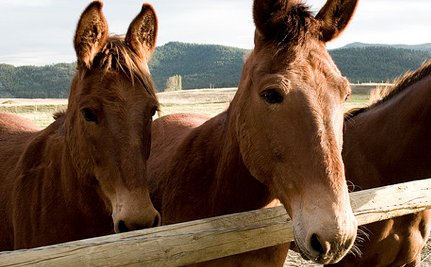 Are These Euthanized Mules Even Educational?