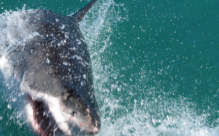Australia Okays Hunting of the Great White Shark