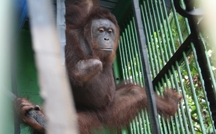 Rare Photos Show Orangutan's Miracle Recovery From Trap