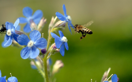Why Are Bees Making Blue Honey?