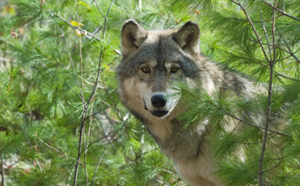 Gray Wolves a Step Closer to a Safe Return in California