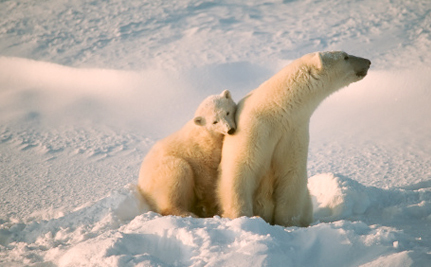 U.S. Steps Up to Help Polar Bears