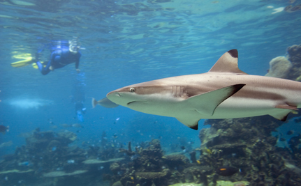 How Can You Save Sharks? Swim With Them!