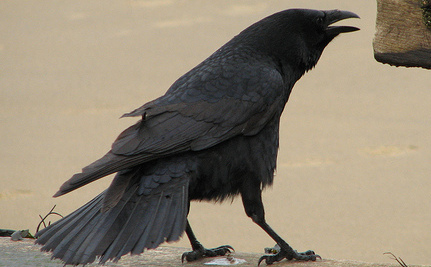 2 More Reasons Why Crows Are Real