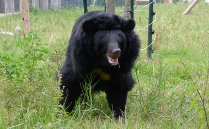 104 Rescued Bears Forced Out of Sanctuary and Back into Cages