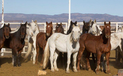 """U.S. Government Sells Wild Horses to """"Kill Buyer"""" for Slaughter"""