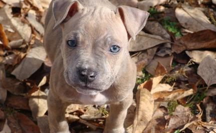 Pit Bull Puppies Poisoned At Pit Bull Awareness Event
