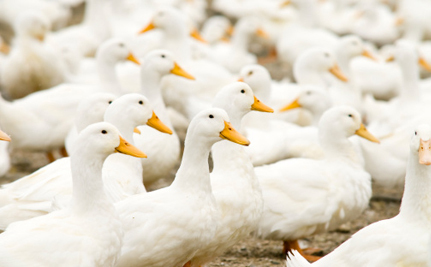 European Lawmakers Come Forward to Support a Foie Gras Ban