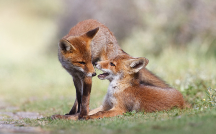 Animal Advocates Call for Fox Penning Ban in Virginia