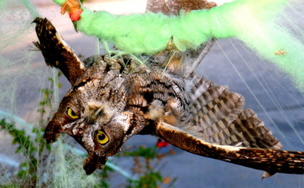 Owl Stuck in Halloween Spiderweb Set Free