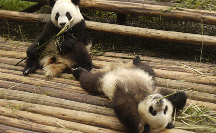 Did Humans Once Eat Pandas?