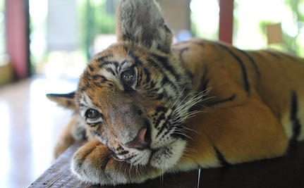 16 Tiger Cubs Rescued From Thai Smuggling Plot