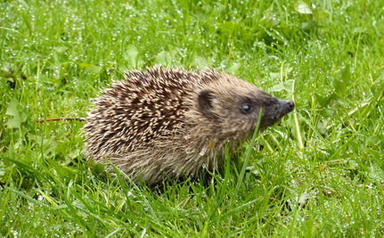 Hungry Baby Hedgehog Saved From Garbage Trap