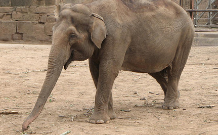 Meet Koshik, the Elephant Who Speaks Korean