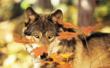 High Death Toll May End Wisconsin's Wolf Hunt Early