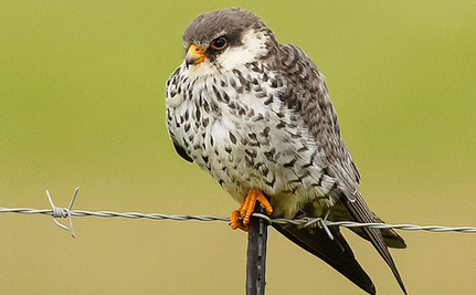 14,000 Amur Falcons Slaughtered Every Day