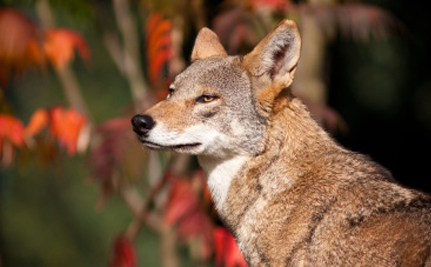 Fewer Than 100 Red Wolves Exist, and Now They're Being Killed