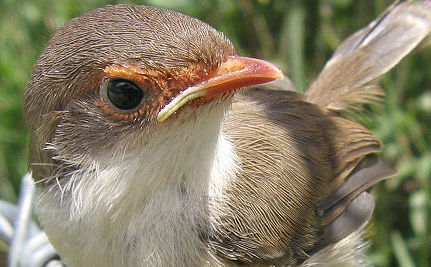 Wrens Teach Their Eggs to Sing a Password