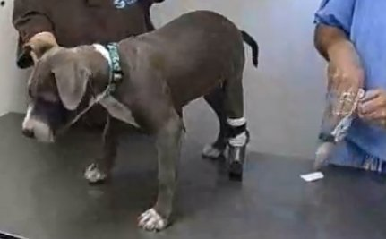 Puppy Nailed to Railroad Track Gets New Paw