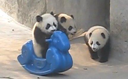 Cute Animal Video of the Day: Ride 'Em Panda!
