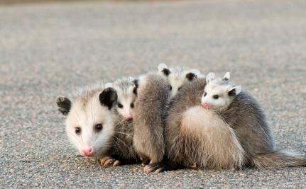 Traumatizing a Wild Opossum – But All in Good Fun