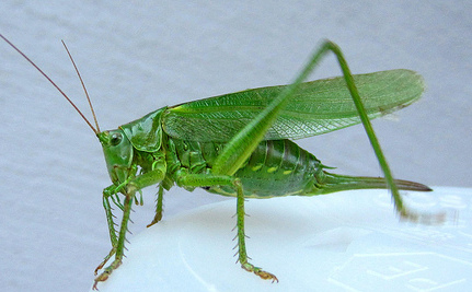Grasshoppers Change Their Chirps In a Noisy World