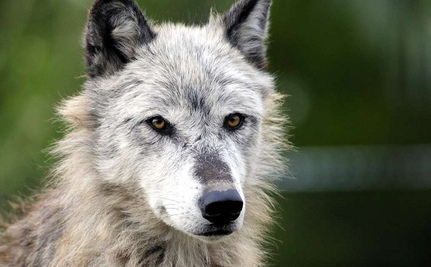Wyoming's Embattled Wolves in Dire Need of Life-Saving Protections