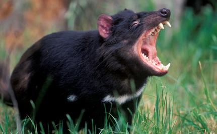 Contagious Cancer May Send Tasmanian Devil Into Extinction