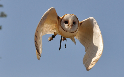 Rat Poison Sets Off a Toxic Chain of Events That Kills Owls